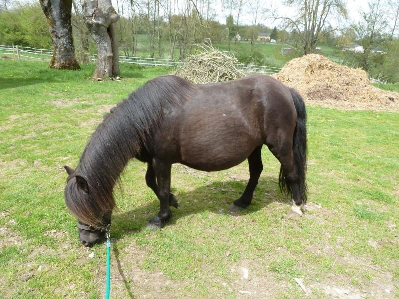 Kaïda - Shetland de 10 ans P1010215