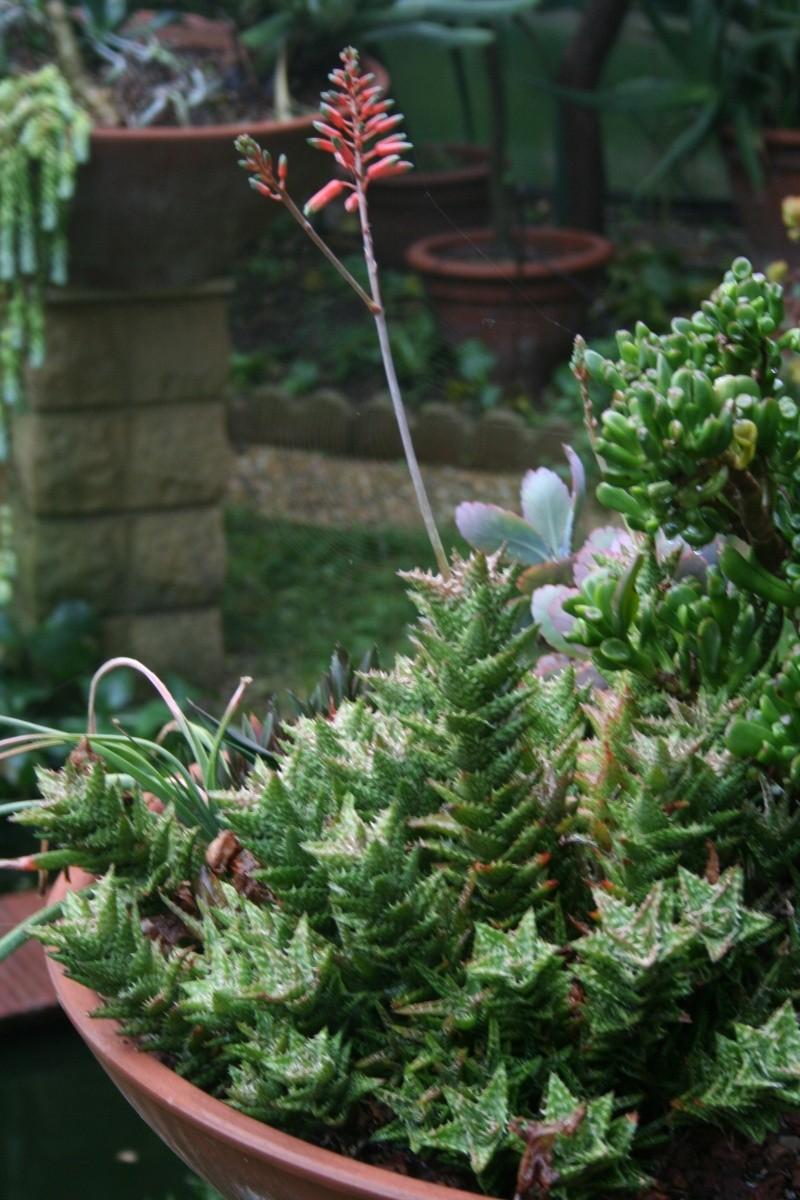 Aloe squarrosa en fleurs Aloe_j10