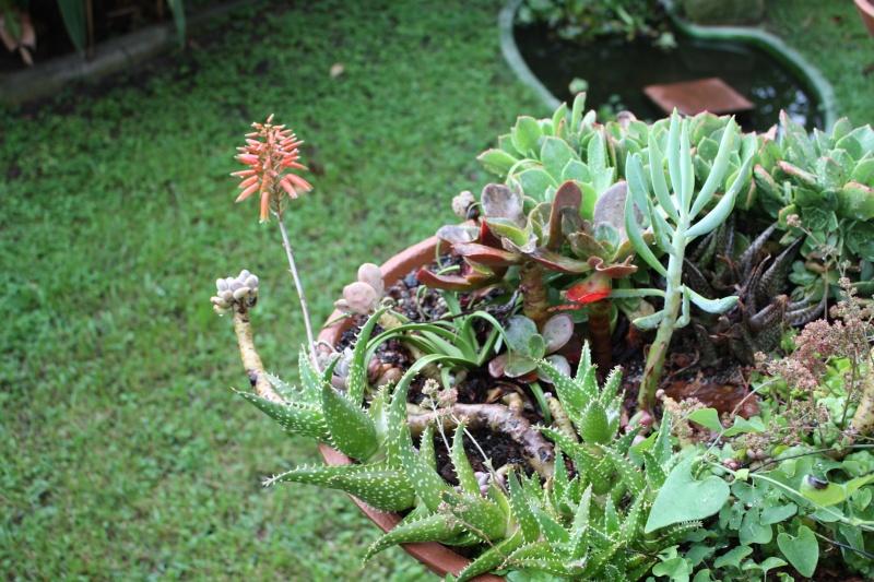 Aloe squarrosa en fleurs Aloe_s10