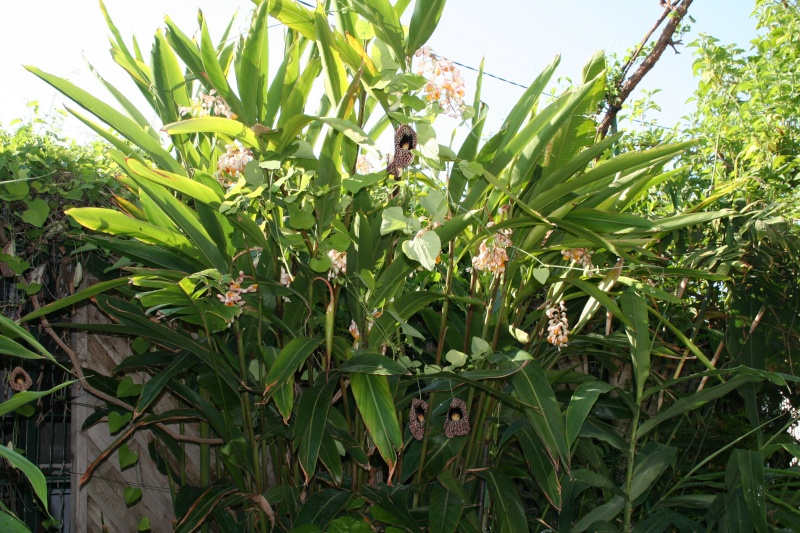 Floraison alpinia zerumbet Alpini10