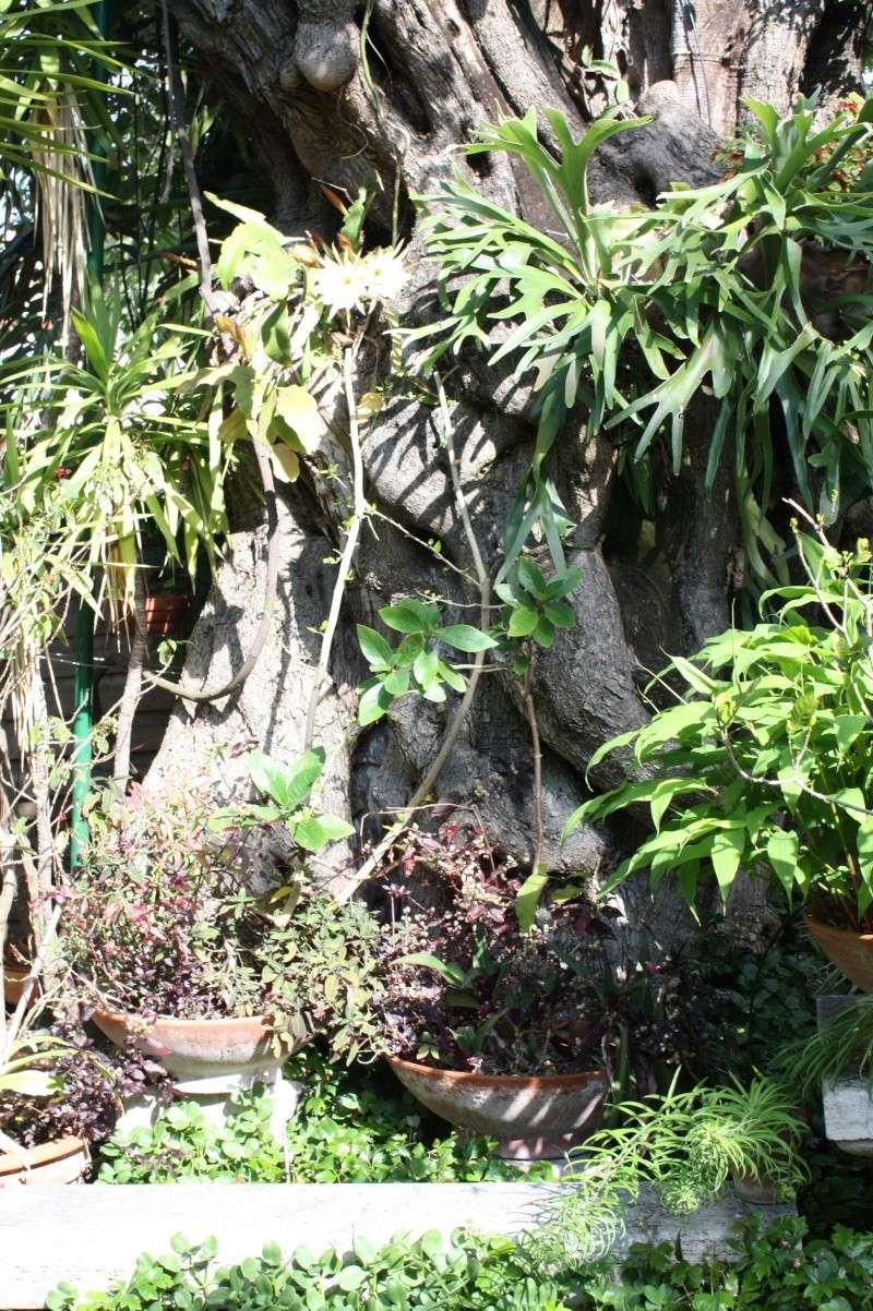 Epiphyllum oxypetalum cultivé au naturel , plein de promesses Ambian10