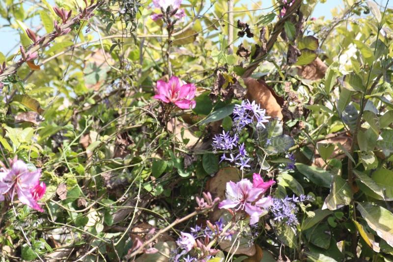 Bauhinia variegata et Petrea volubilis, début de floraison Bauhin10