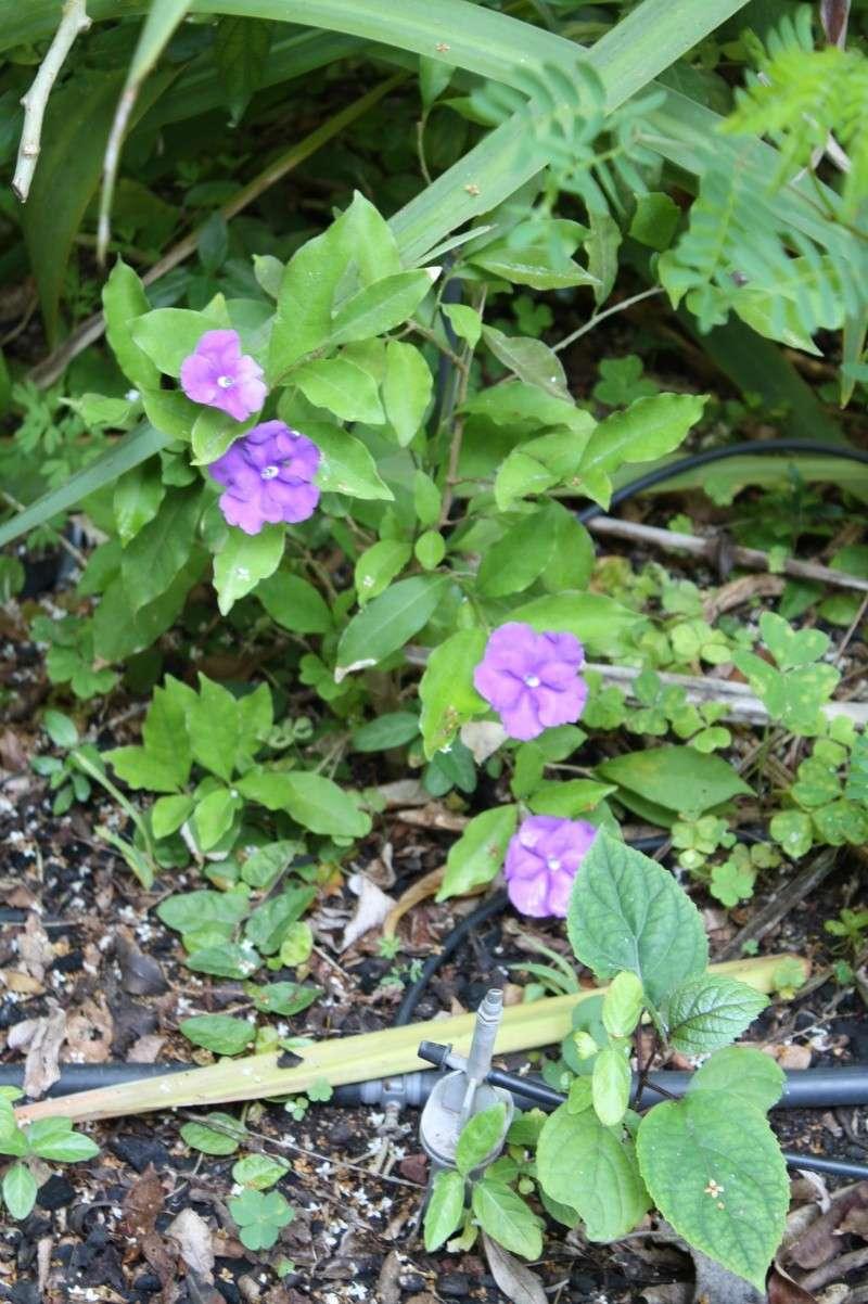 Brunfelsia uniflora Brunfe10
