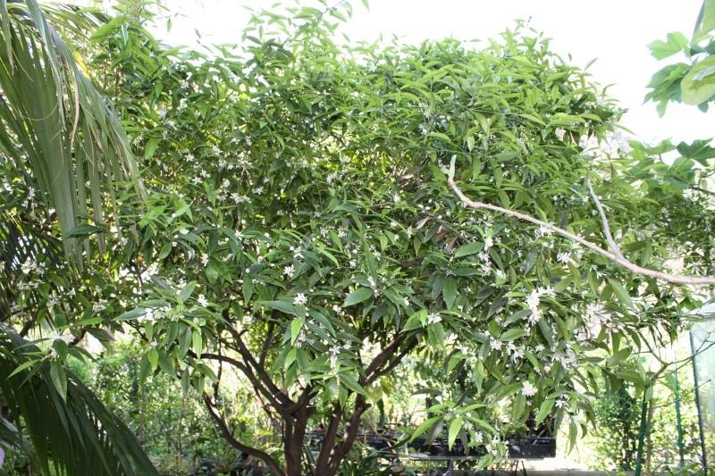 Mandarinier, si seulement quelques unes donnent des fruits Citrus10