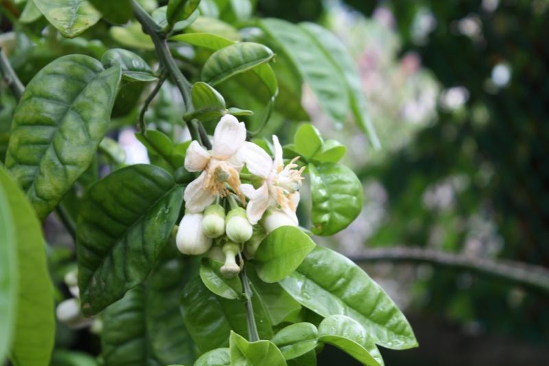 Mandarinier, si seulement quelques unes donnent des fruits Citrus19