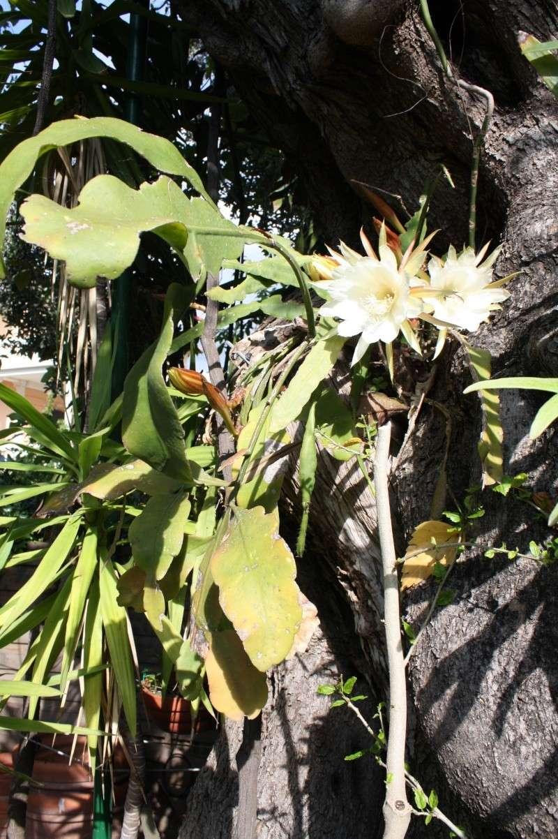 Epiphyllum oxypetalum cultivé au naturel , plein de promesses Epiphy12