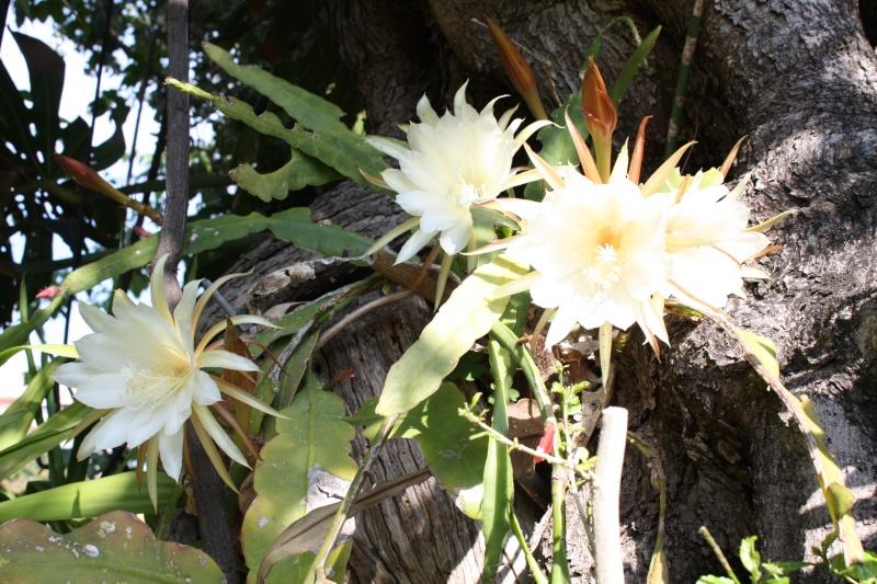 Epiphyllum oxypetalum cultivé au naturel , plein de promesses Epiphy14