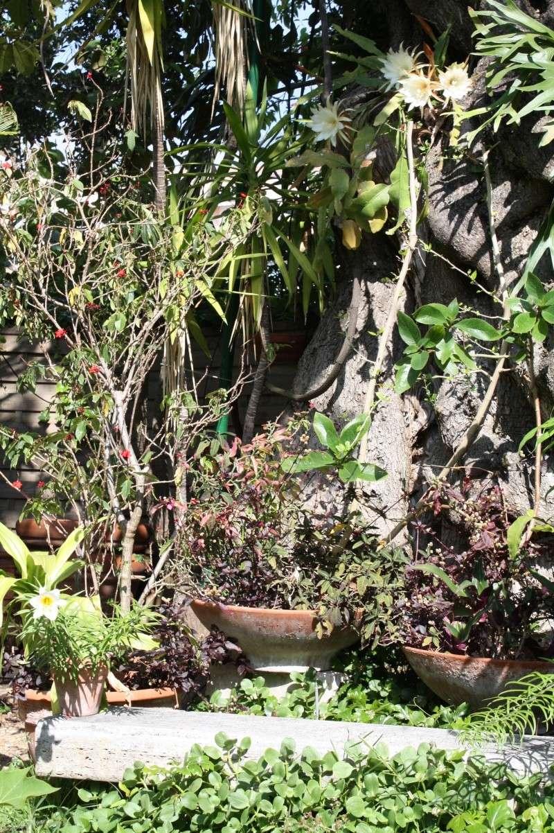 Epiphyllum oxypetalum cultivé au naturel , plein de promesses Epiphy15