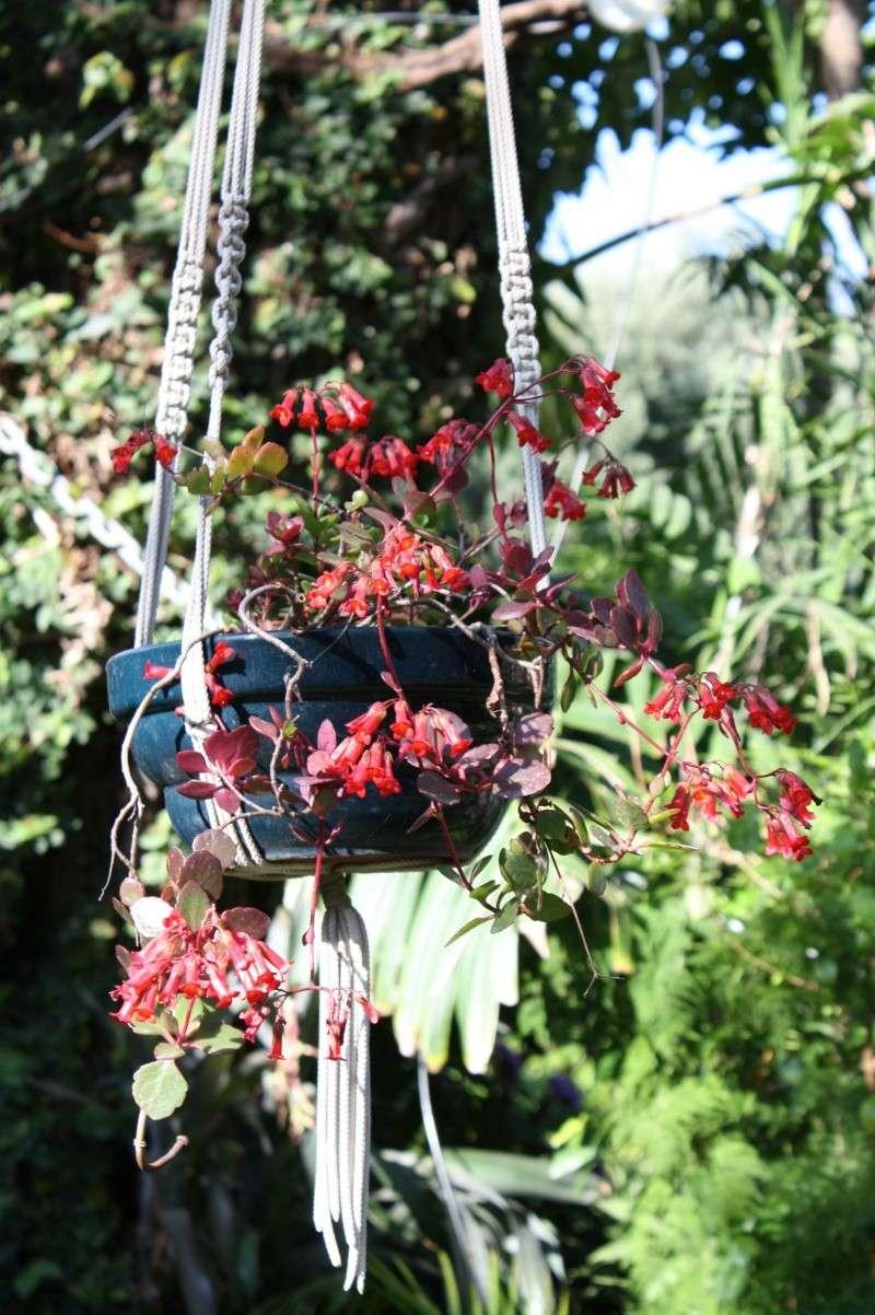 Kalanchoe en suspension en fleurs en ce moment Kalanc14