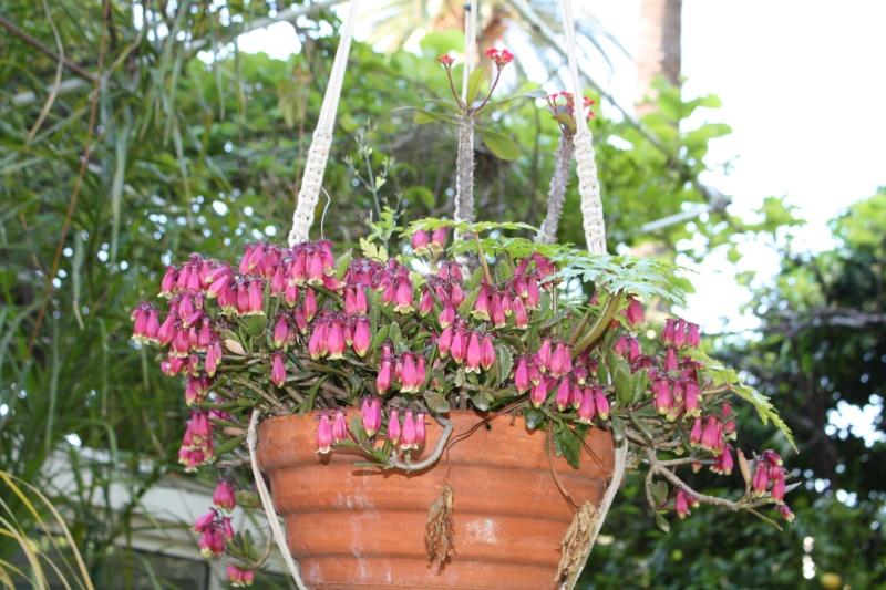 Kalanchoe en suspension en fleurs en ce moment Kalanc15