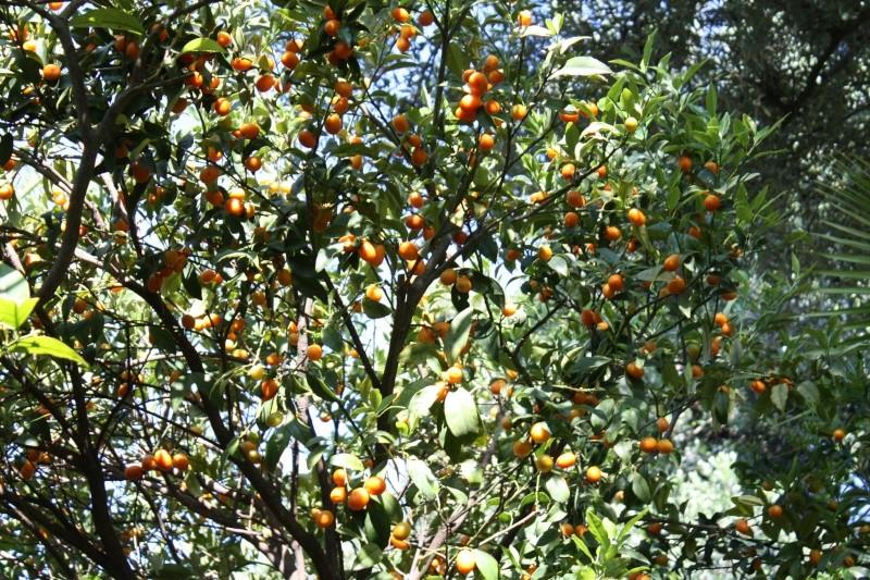 Kumquat encore bien chargé Kumqua11