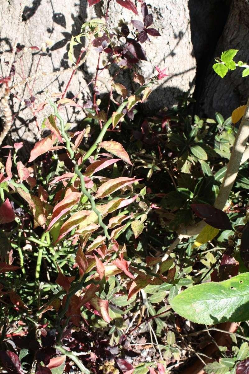 Pedilanthus tithymaloides, la plante zig-zag Pedila10