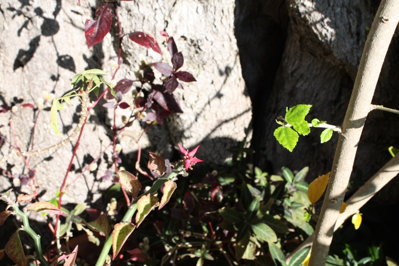 Pedilanthus tithymaloides, la plante zig-zag Pedila11
