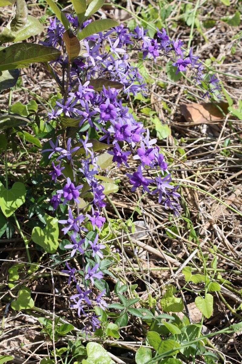 Bauhinia variegata et Petrea volubilis, début de floraison Petrea12