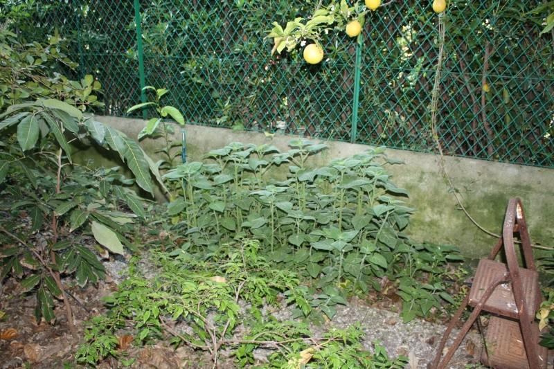 Spntanées marrantes de mon jardin Physal10