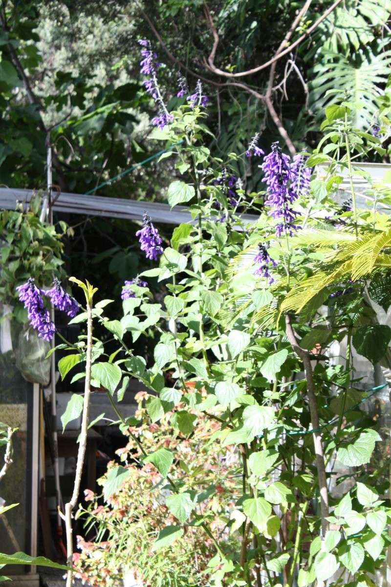Salvia guaranitica, pour le plaisir Salvia10