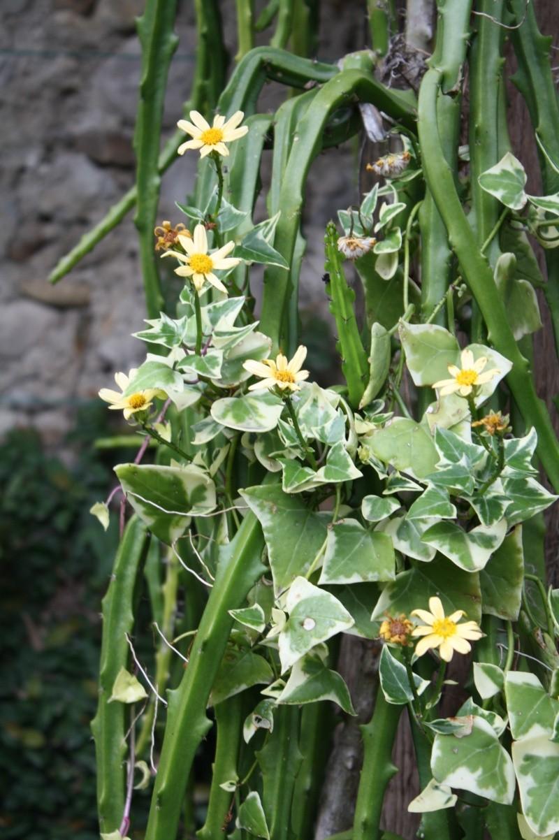 Senecio macroglossus, le lierre qui fait des margurites jaunes Seneci10