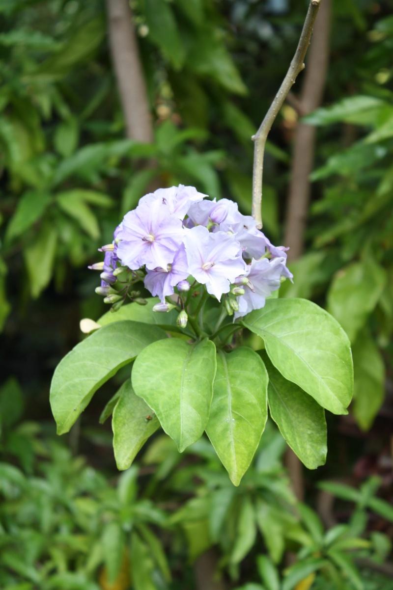 Solanum wendlandii, la liane du paradis Solanu11