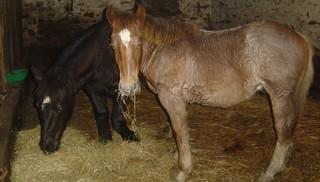 ULYSSE (Trait Breton) & UNIK (Breton X Percheron) nés en 2008 - adoptés en décembre 2008 par cherryhill Photos21