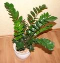 plantes faciles Zamioc10