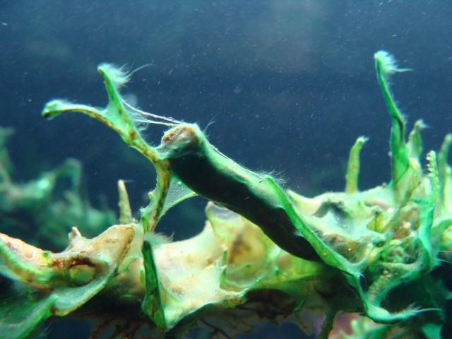 Algues brunes liées au silicate? Dsc09010