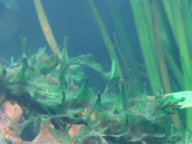 Algues brunes liées au silicate? Dsc09011