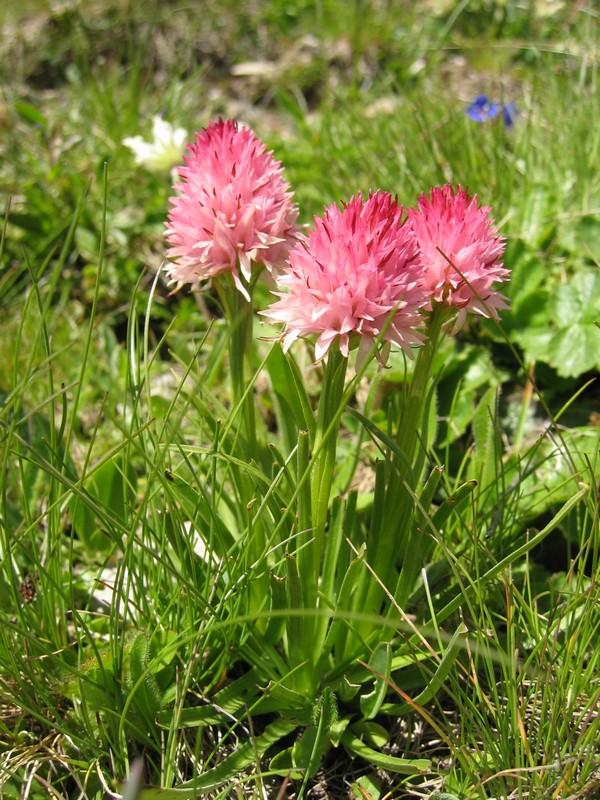 Gymnadenia ( Nigritella ) corneliana ( N.de Cornelia ) Col_de25