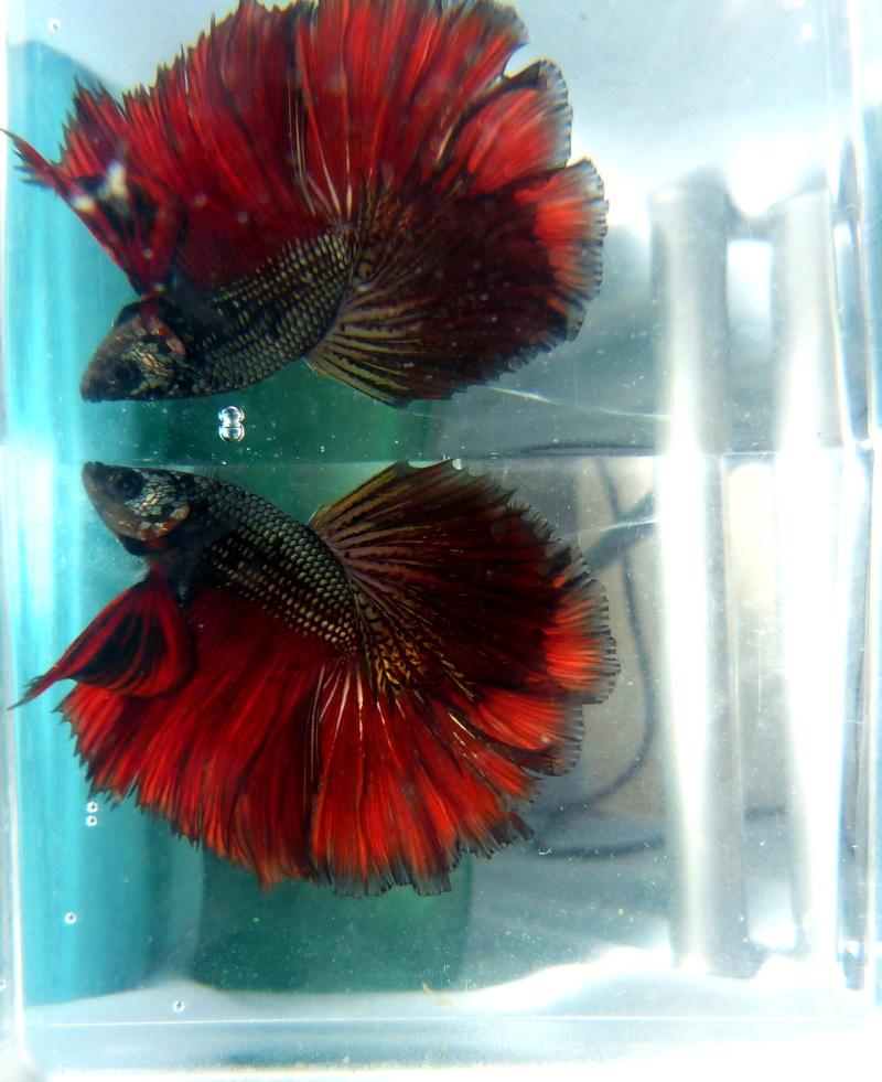 repro du 12 juin 2013 M red copper HM x F bleu geno ? P1040411