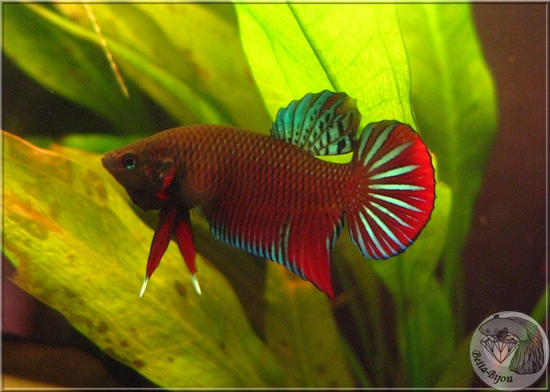 "Betta Splendens, du ""vrai"" ! Wild betta splendens Splend11"