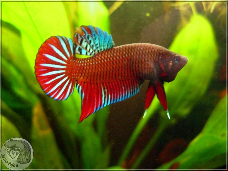 "Betta Splendens, du ""vrai"" ! Wild betta splendens Splend13"