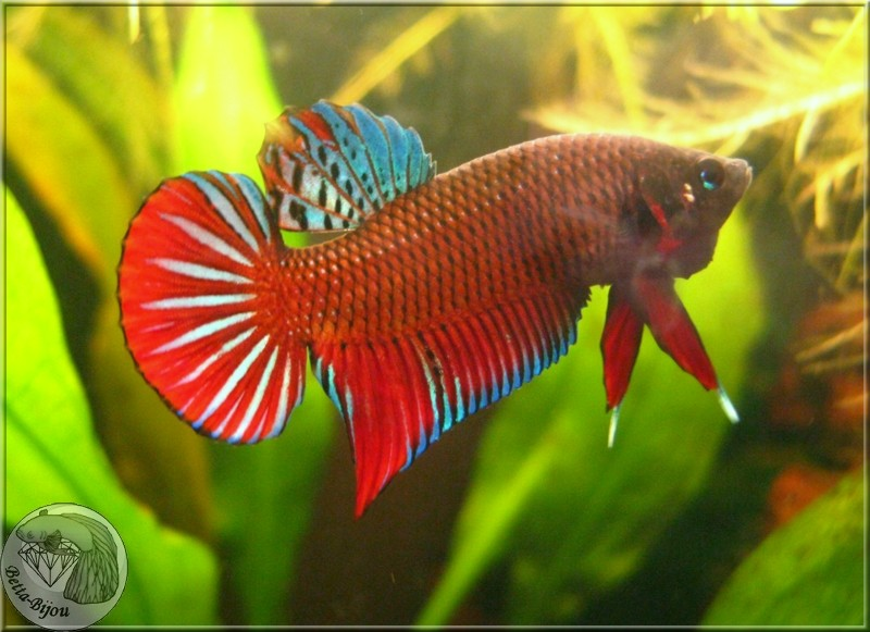 "Betta Splendens, du ""vrai"" ! Wild betta splendens Splend14"