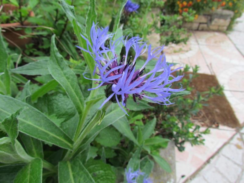 mon jardin 2020 Fleur_14
