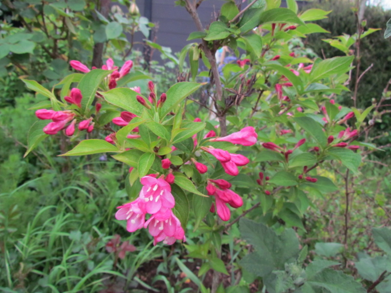 mon jardin 2020 Fleur_17