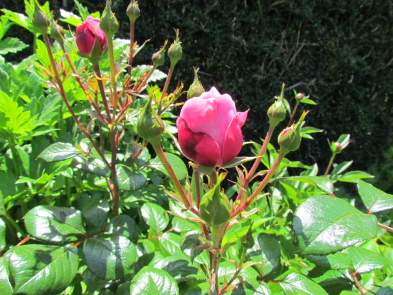 mon jardin 2020 Fleur_26