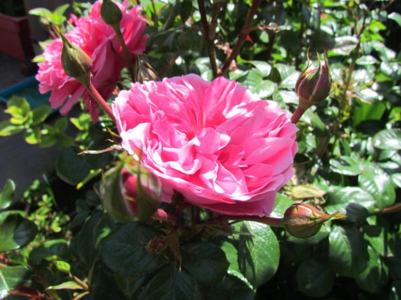 mon jardin 2020 Fleur_27