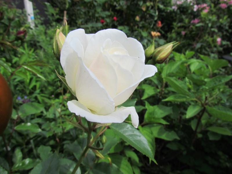mon jardin 2020 Fleur_30
