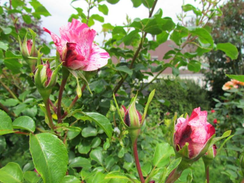 mon jardin 2020 Fleur_31