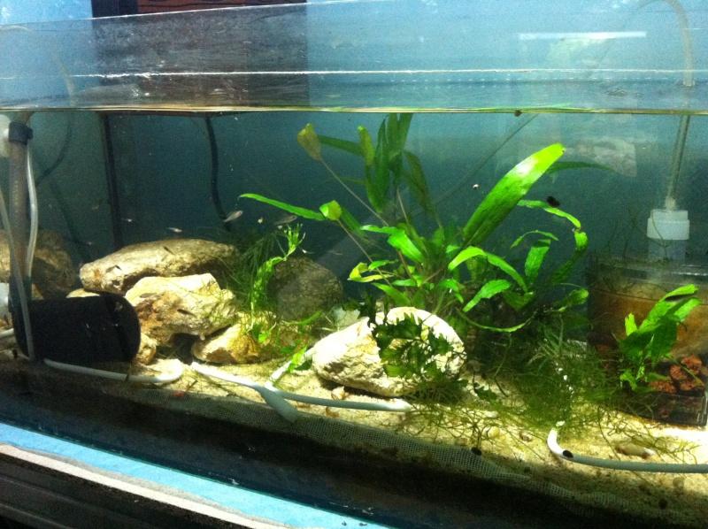 reproduction cyprichromis leptosoma mpulungu Boui10