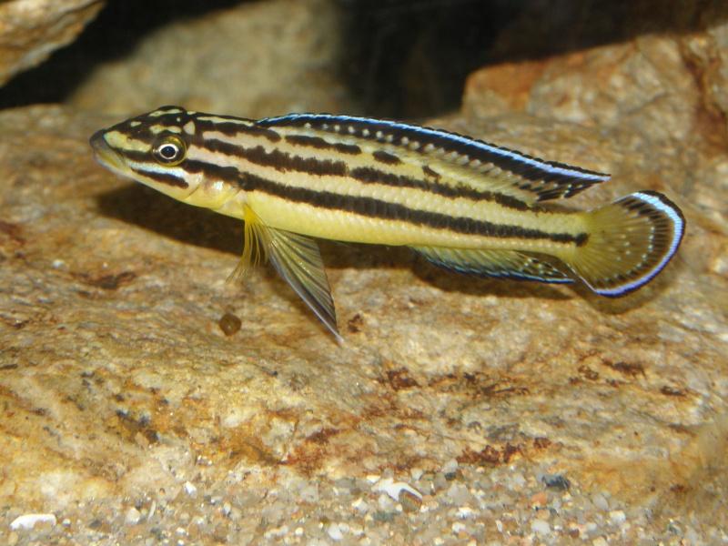 biotope tanganika mick P6139212
