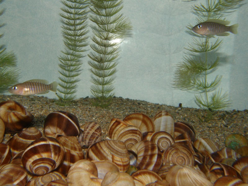 reproduction neolamprologus multifasciatus P6139213