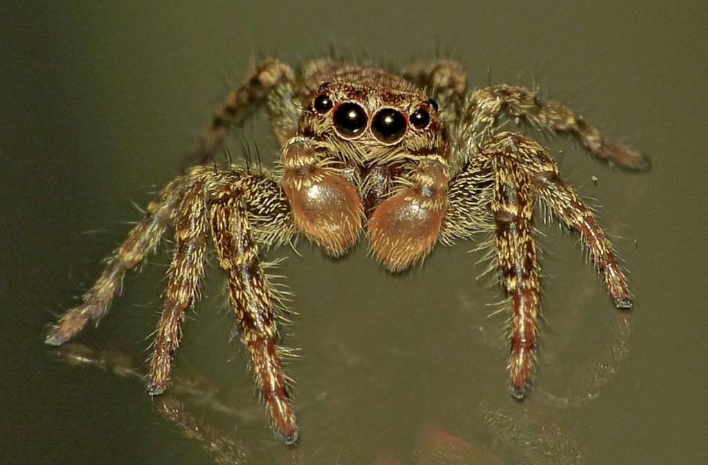 Araignée sauteuse... Marpissa muscosa 01_07_10