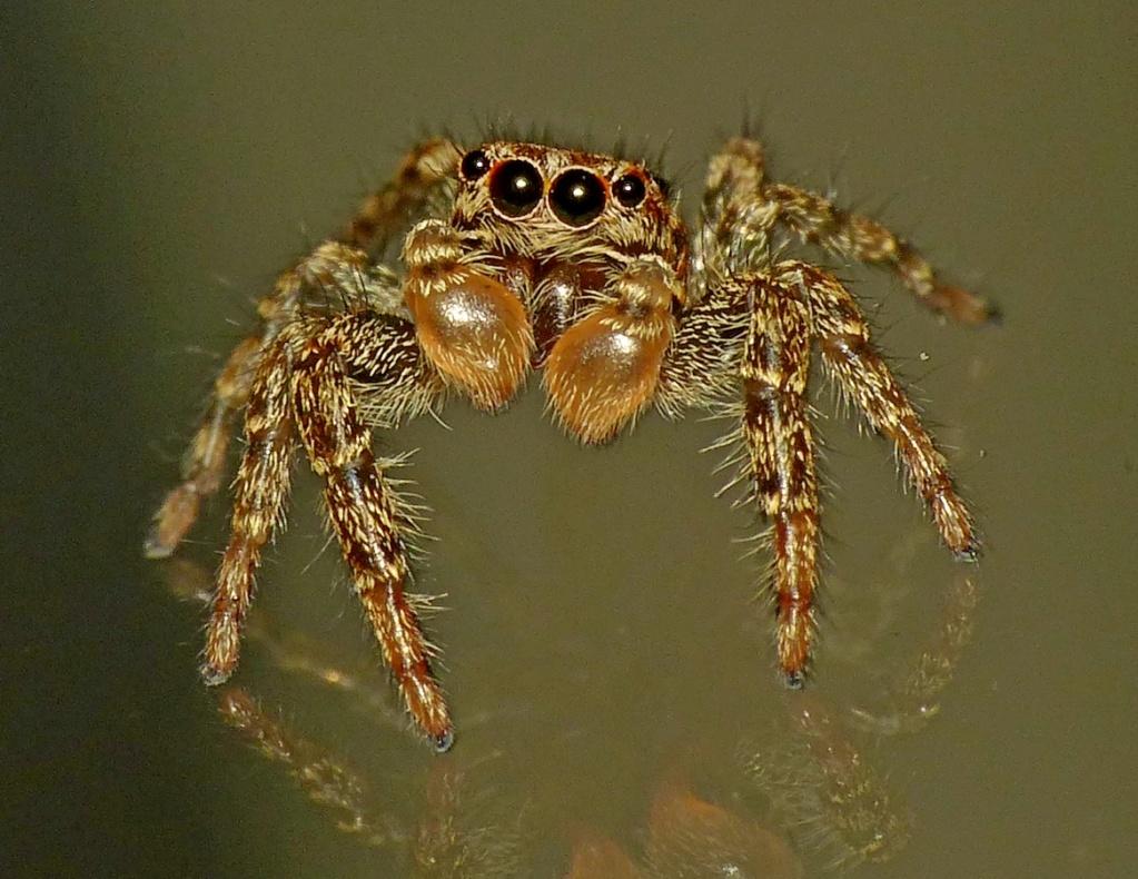 Araignée sauteuse... Marpissa muscosa 01_07_11