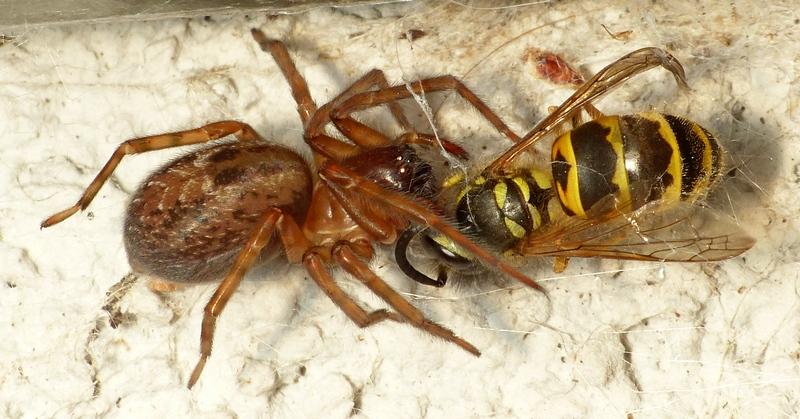 Guêpe vs araignée (Amaurobius) 02_08_11