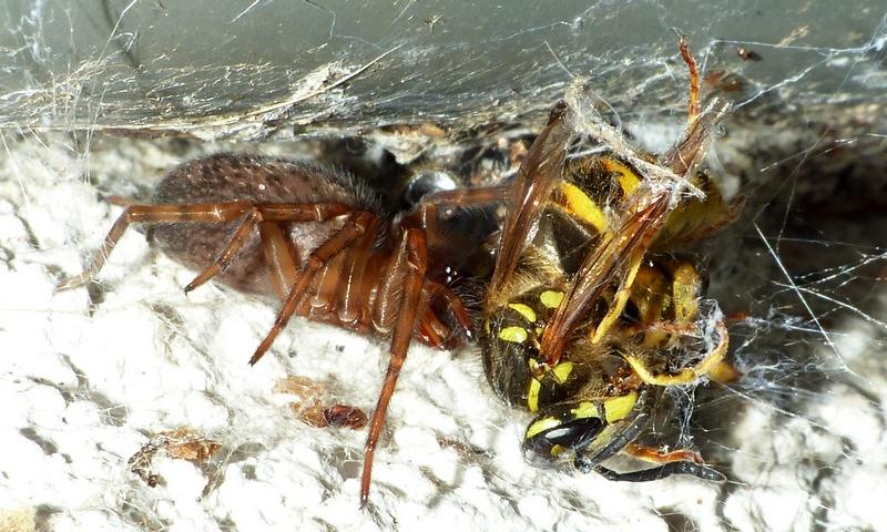 Guêpe vs araignée (Amaurobius) 03_08_15