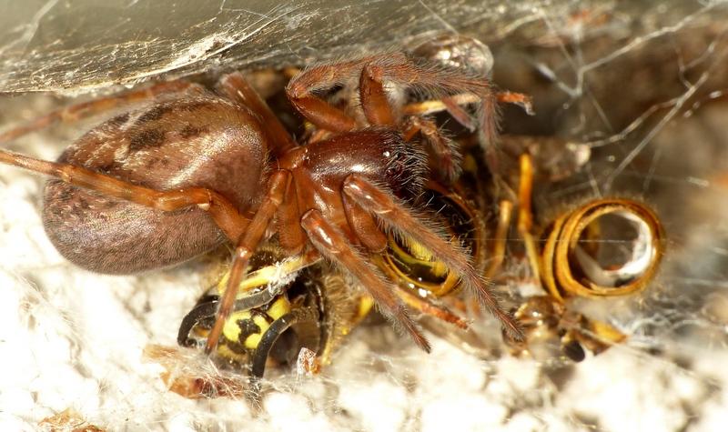 Guêpe vs araignée (Amaurobius) 04_08_12