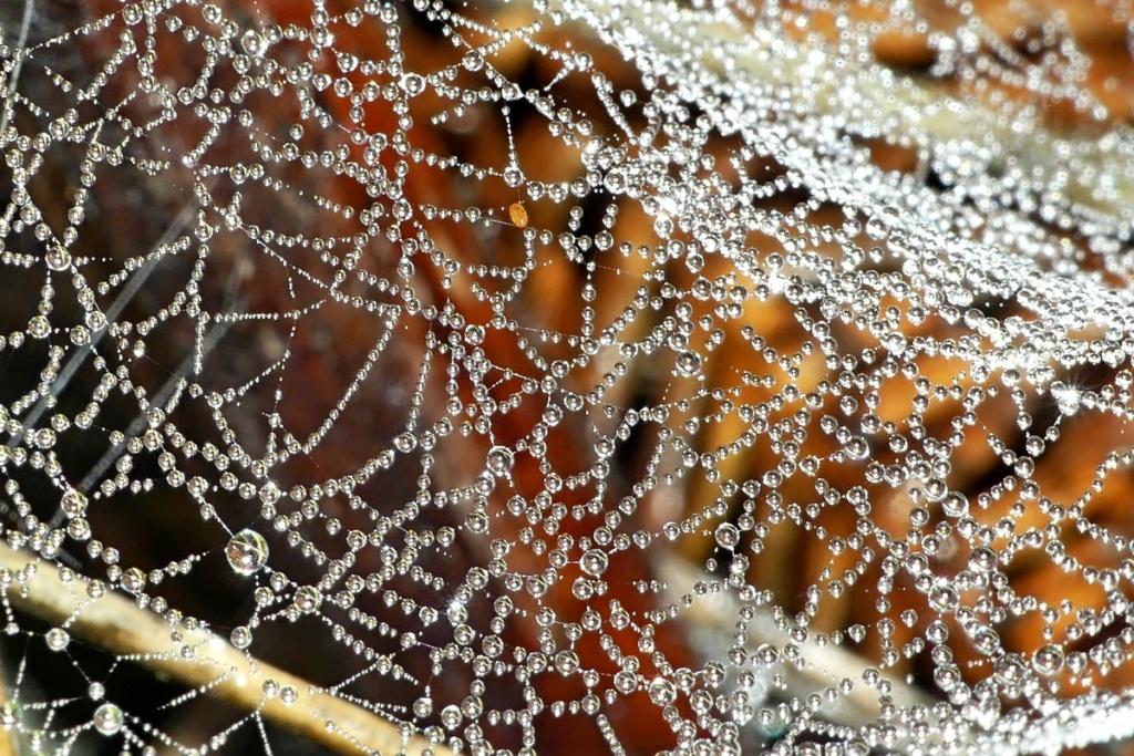 Araignée sauteuse... Marpissa muscosa 17_10_11