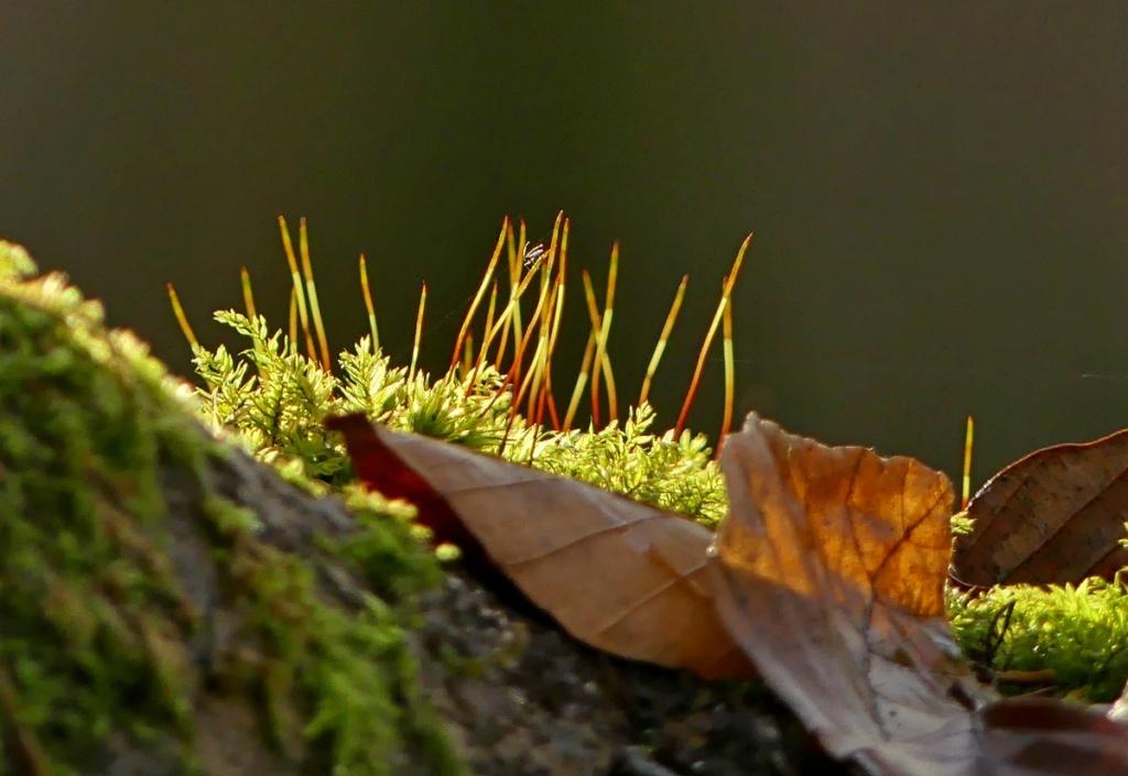 L'élégante des hêtraies... Drapetisca socialis (Araignée... C'est pour soleil !) 18_12_11