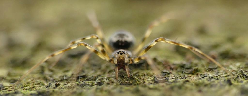 L'élégante des hêtraies... Drapetisca socialis (Araignée... C'est pour soleil !) 18_12_15