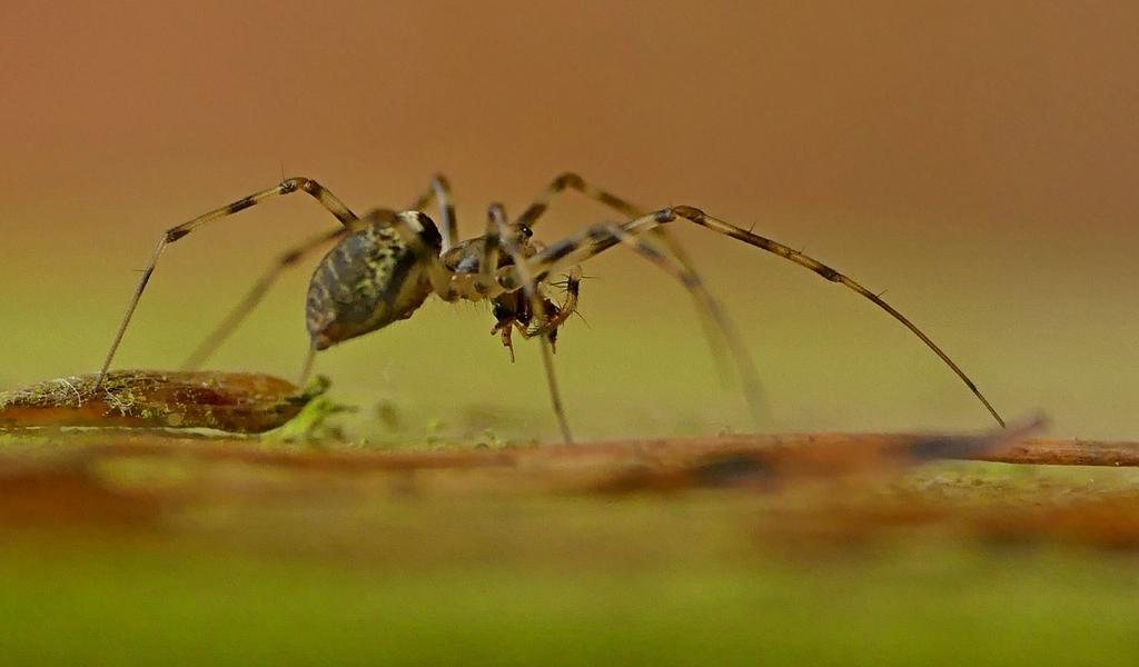 L'élégante des hêtraies... Drapetisca socialis (Araignée... C'est pour soleil !) 18_12_16