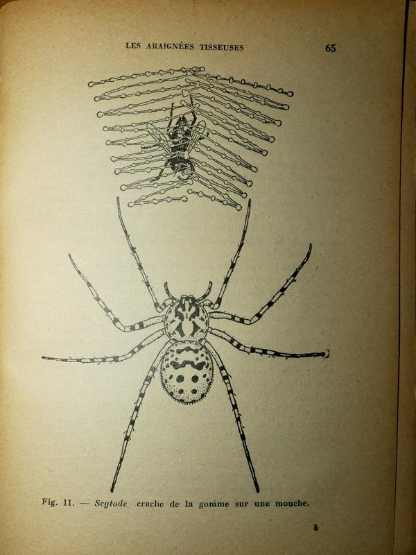 Scytodes thoracica 28_12_13